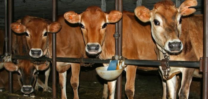 Bodenbelag für Kuhstall: Gestaltung des Betonbodens hat Einfluss auf die Milchproduktion