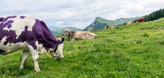 Milka: E-Mail an Kuh oder Moderatorin? ( Foto: Shutterstock- Davide Rigon)